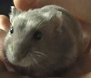 archie the hamster