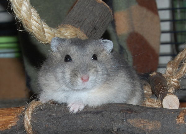 Sapphire hamster baby