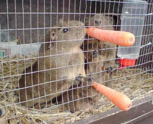 City Farm: a family of guinea pigs