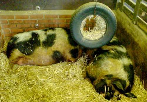 City Farm: pigs