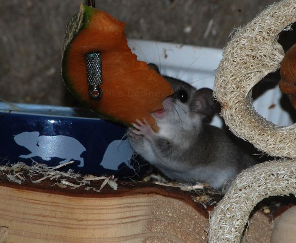 George the dormouse eating a slice of melon