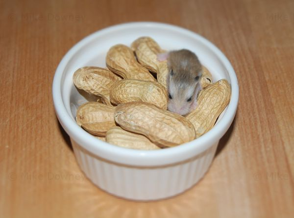 Baby Roborovski Peanut