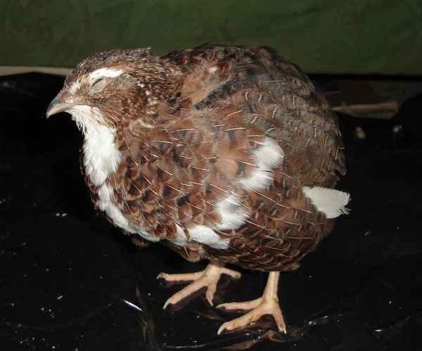 One of our new quail