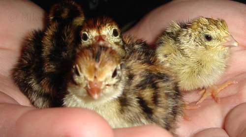 Day old quail chicks