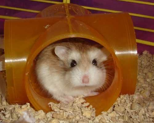 Roborovski hamster from the RSPCA