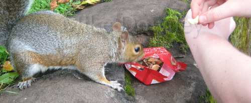 Squirrel nosing around in the snack bag