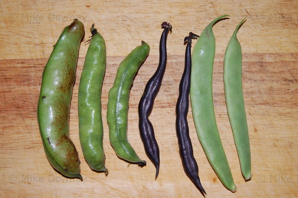 Beans from the garden