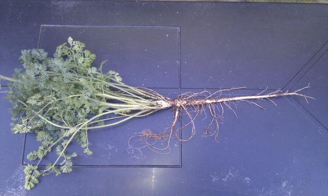 Wild Carrot