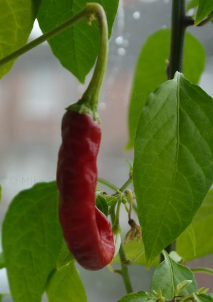 First ripe chillies