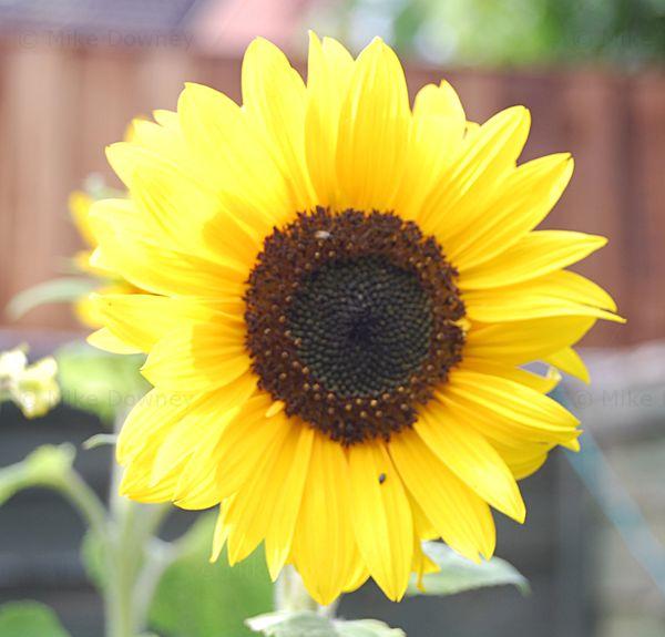 A feral sunflower in the garden