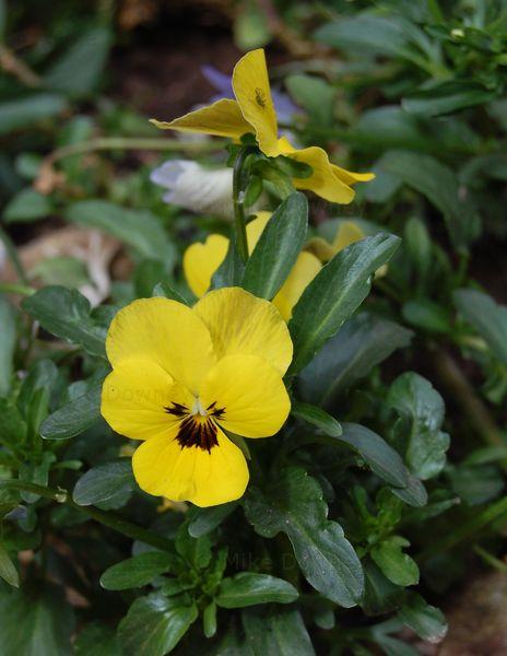 Viola in the veg garden