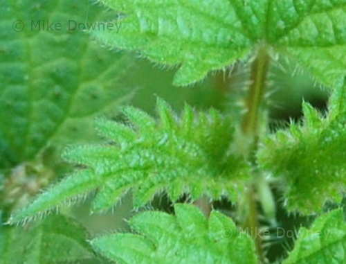 Closeup of Nettle leaves