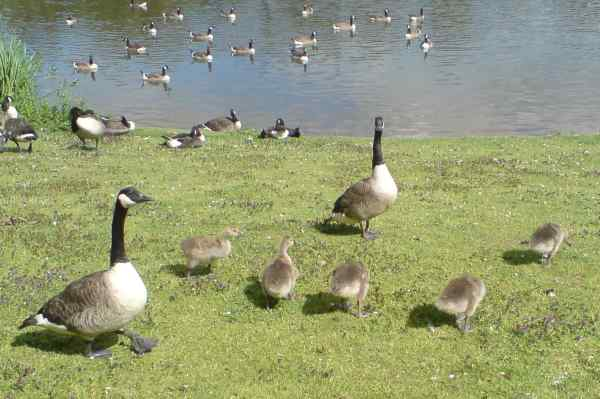 Stafford Services geese